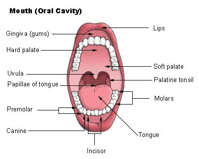 Body Parts ndash The Mouth ndash Digi Learner